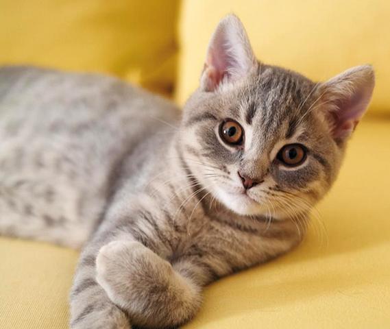 Кот перед кастрацией