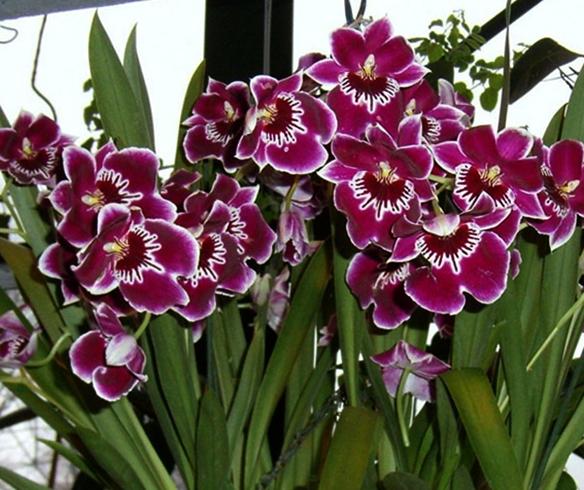 Орхидея Мильтония дома