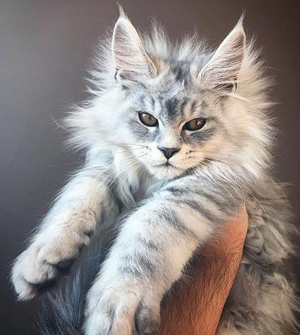 Котенок мейн-куна в руках