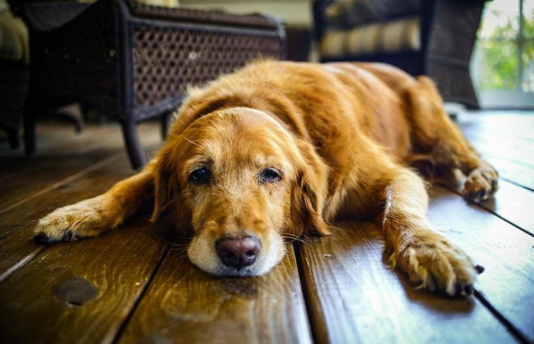 Старая собака дома