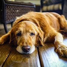 Что делать если старая собака стала писать дома?